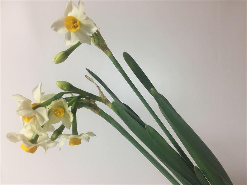 冬の代表的な花水仙