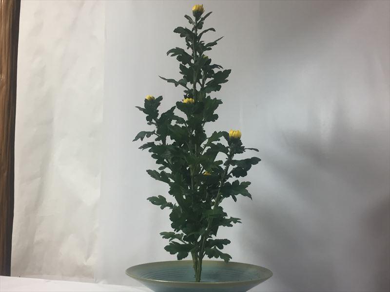 とっちらかった初めて生けた菊の生花