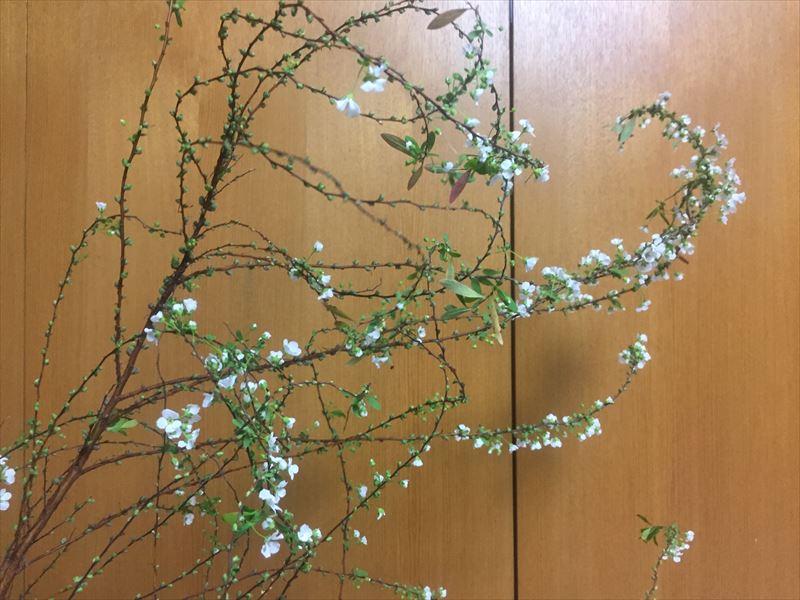 細やかな白い花と新緑の細かい葉っぱがとても可憐なユキヤナギ