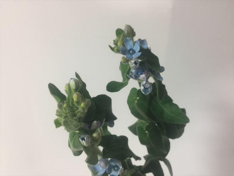 研究会の自由花の花材ブルースター