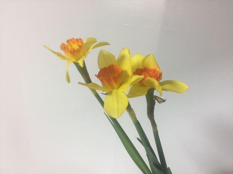 黄色が素敵な研究会の自由花のための花材ラッパ水仙