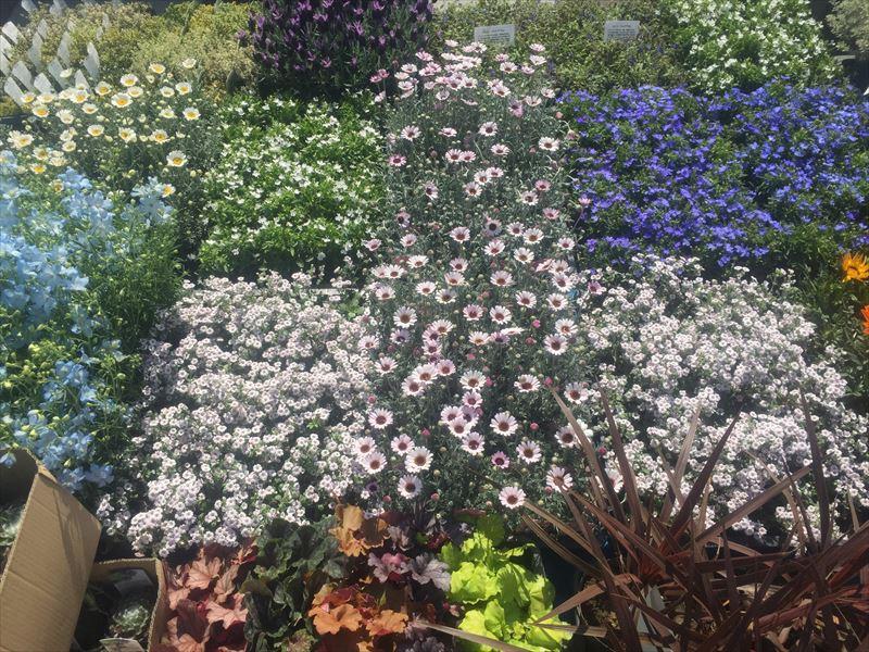 よこはまスプリングフェアで植栽を待っている花々