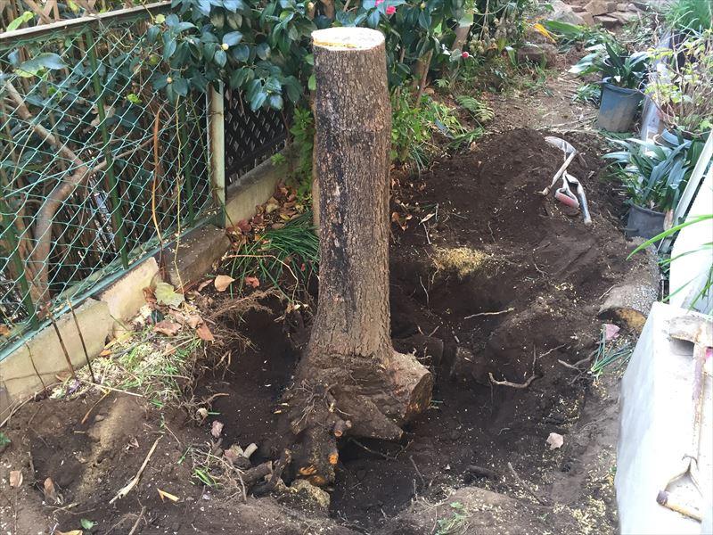 かなり掘ったがまだまだ大きな根っこをもった柿の木