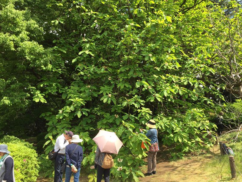 とても巨大に成長した新宿御苑のホオノキ