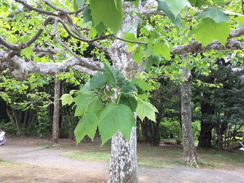 新宿御苑のプラタナスの美しい新緑の葉っぱ
