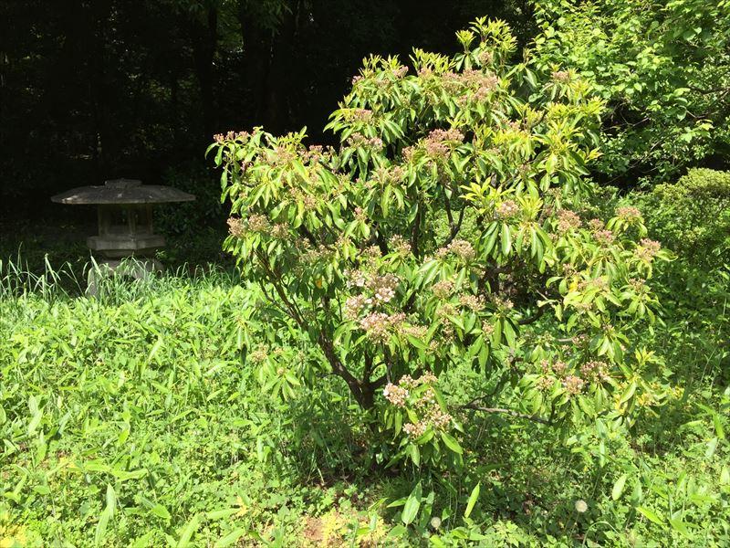 新宿御苑の初夏に開花したカルミア
