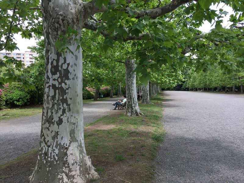 綺麗な樹形の新宿御苑のプラタナス並木のプラタナス