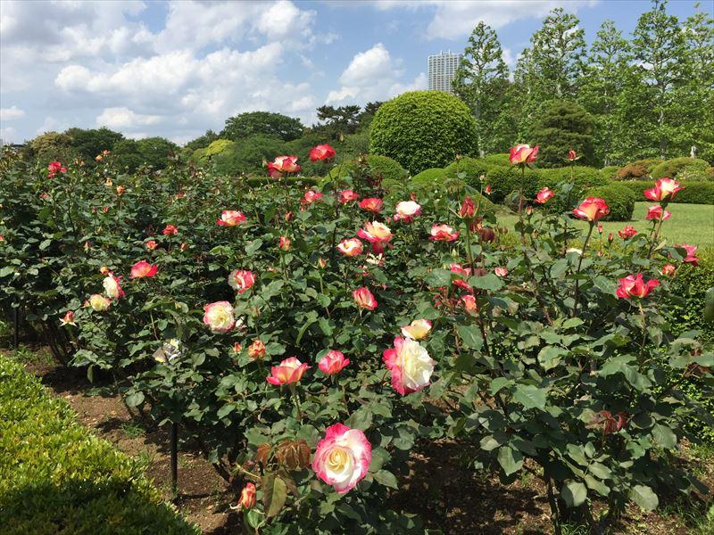 大輪のバラから有名なバラまで多種多様なバラがみどころの新宿御苑のバラ花壇