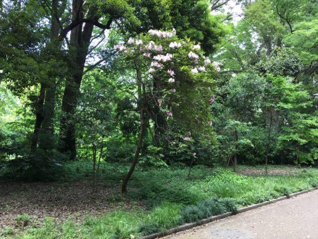 新宿御苑の開花したセイヨウシャクナゲ