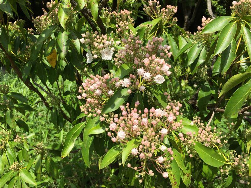 新宿御苑で初夏に開花したカルミアの花