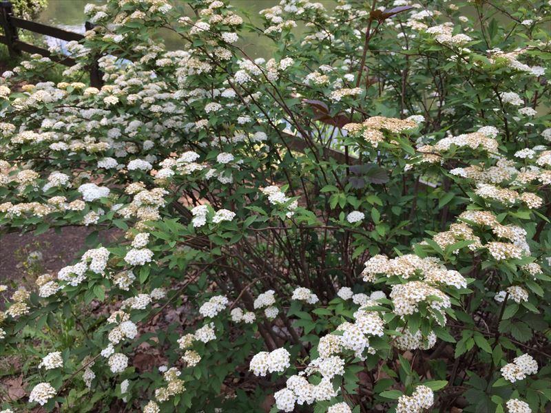細かい白い花が可憐なコデマリ