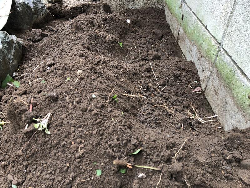 地面の30センチしたに入り込んでいる雑草のドクダミの根っこ