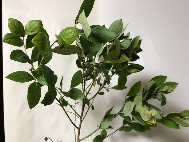 センターピースの自由花の花材としてのブルーベリーの葉っぱと果実