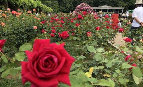 神代植物園で2019年6月に開催されたバラフェスで四季咲きのバラ
