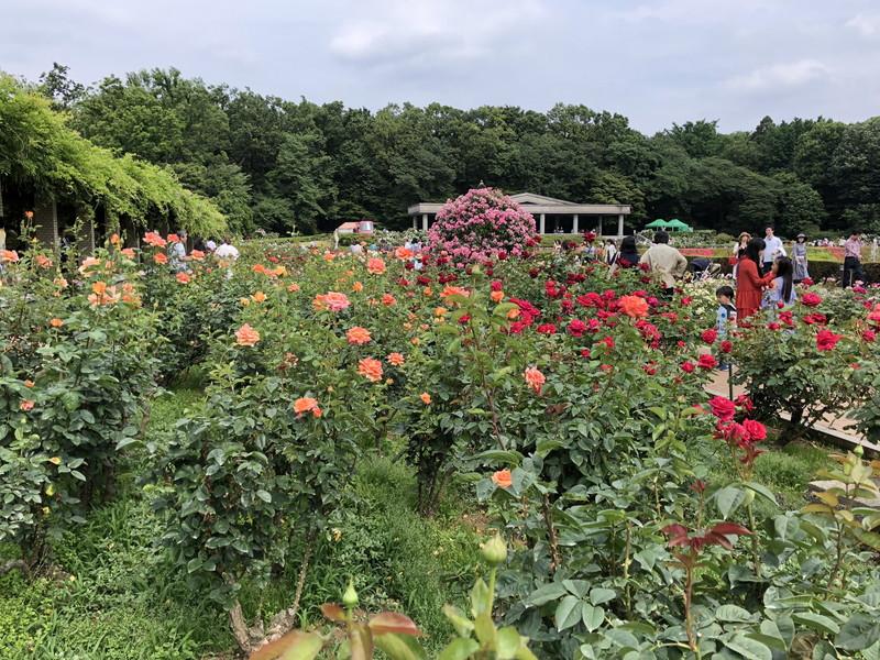 2019年の春に開催されている神代植物公園のバラフェスタのバラ