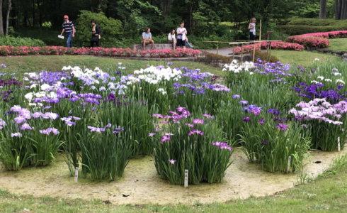 皇居で出会った初夏の季節の花の花菖蒲