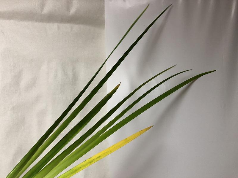 花生けで使われる緑の細い水生植物オクロレウカの葉っぱ