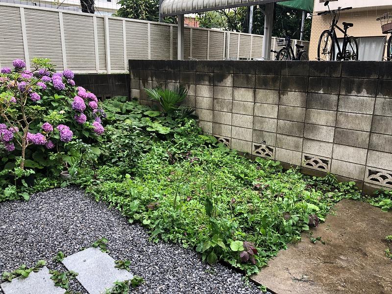 ドクダミとユキノシタでいっぱいになった雑草だらけの庭