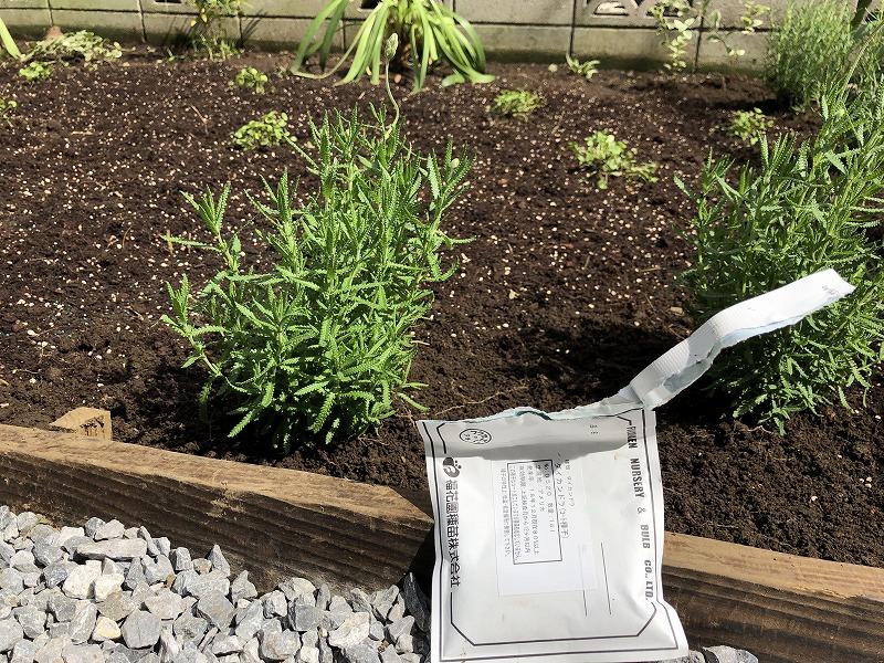 ディコンドラの種を蒔いた庭