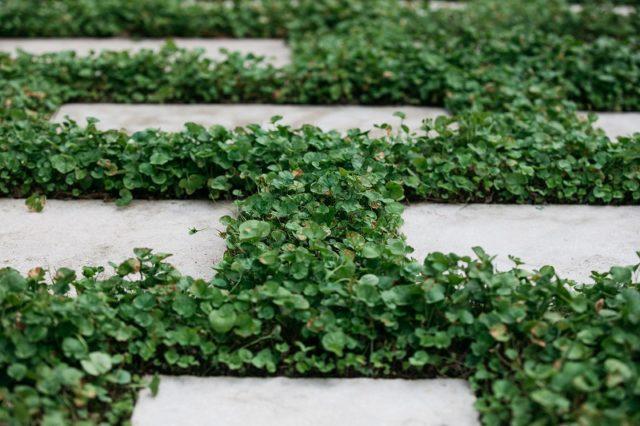 飛び石の間がディコンドラでいっぱいに成長した庭