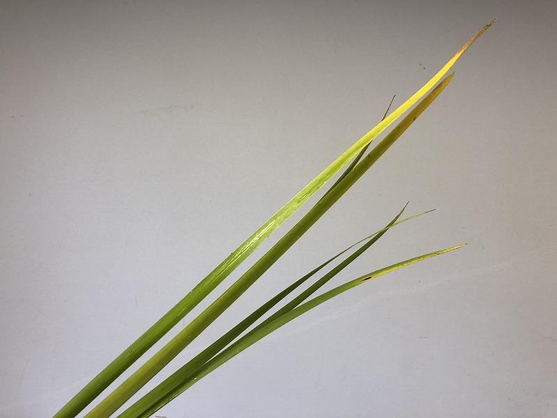 2019年夏の男花展のための花材オクラレウカ