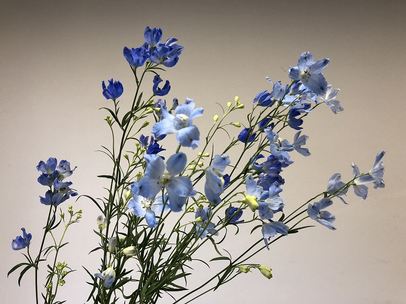 鮮やかな青色が特徴的な夏の花マリンブルー