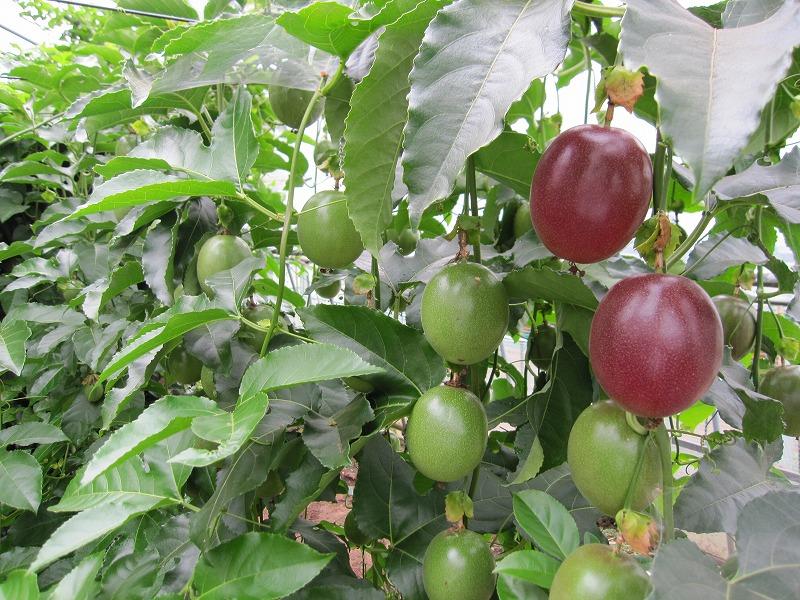 色づいてきた果実のパッションフルーツ