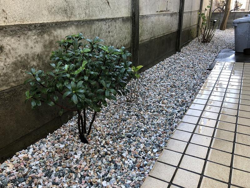 玄関入ってすぐに植栽したジンチョウゲ