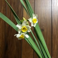 季節の花のニホンズイセン
