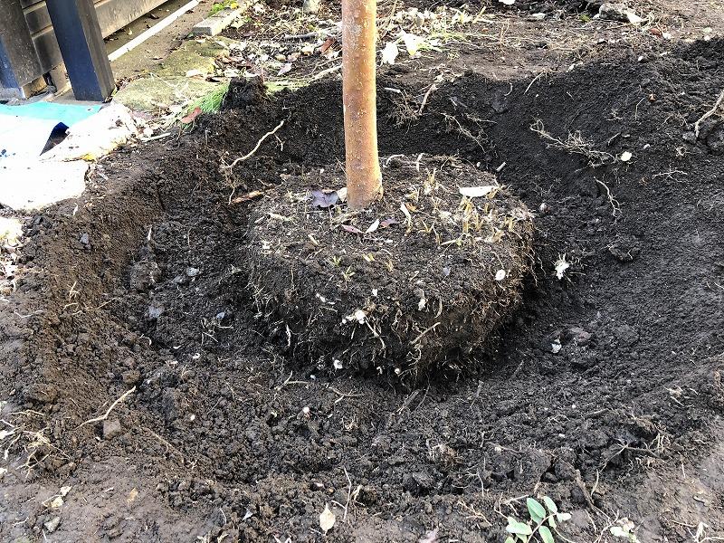 目黒区で移植のため掘り出したヒメシャラの株
