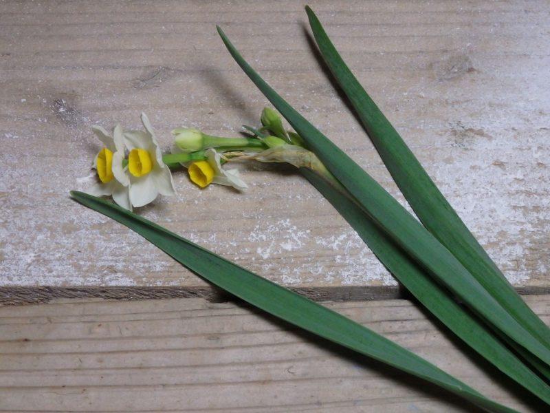 自然の姿の水仙の花