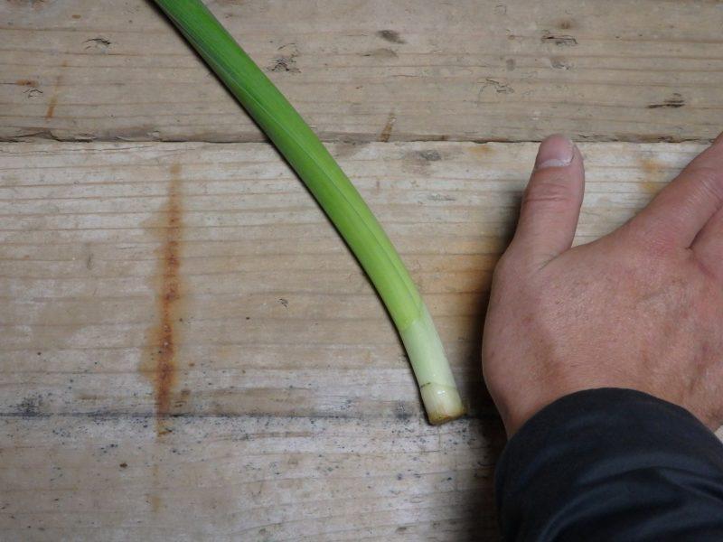 水仙の解体のために手のひらを使う