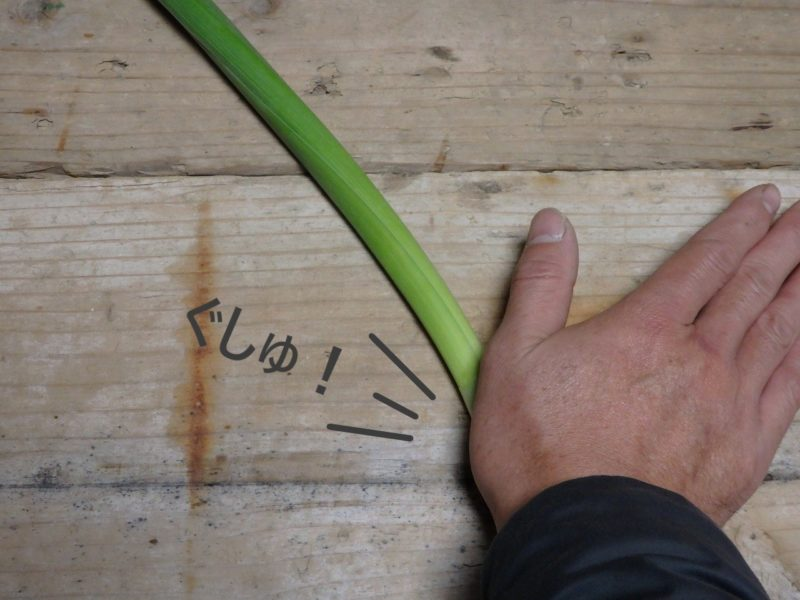 水仙を解体するために手のひらで圧し潰している説明