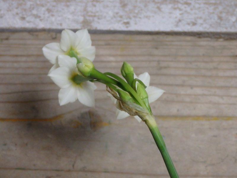 水仙の花の裏側