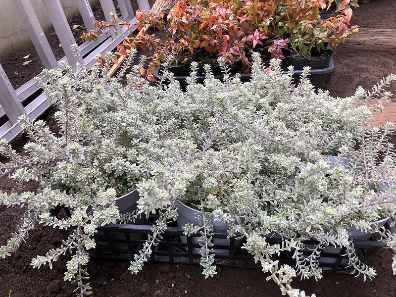白い葉っぱのウェストリンギアのホワイトスモーキー