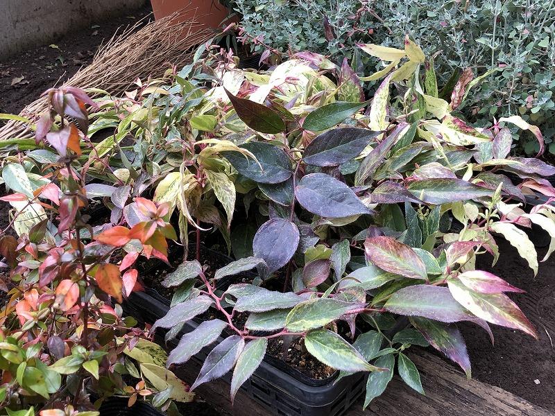 葉っぱの色合いの幅が広いセイヨウイワナンテン