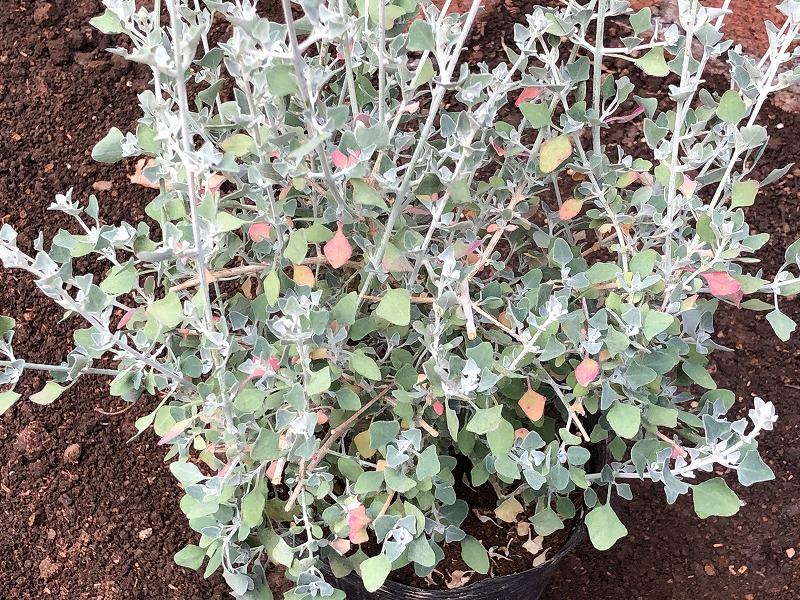 葉っぱのカタチと色が面白いホワイトシルバ―ブッシュ