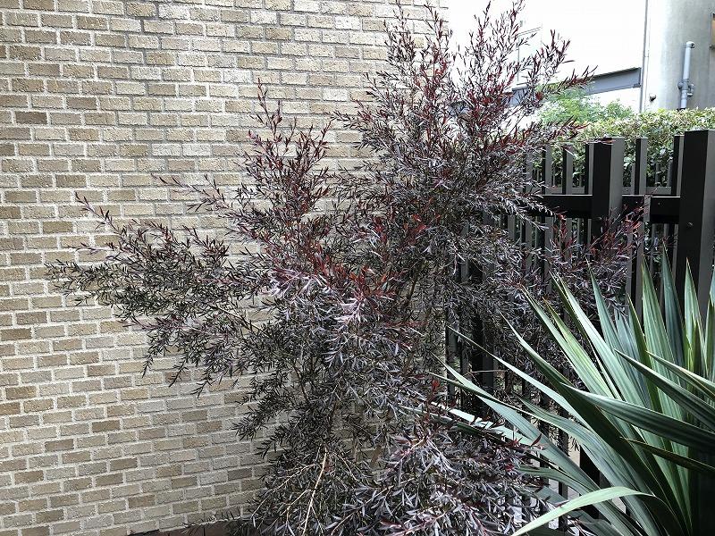樹形と葉っぱの色合いが素晴らしいメラレウカの黒葉