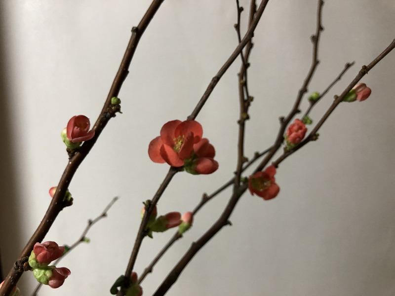 赤いロウのようなボケの花
