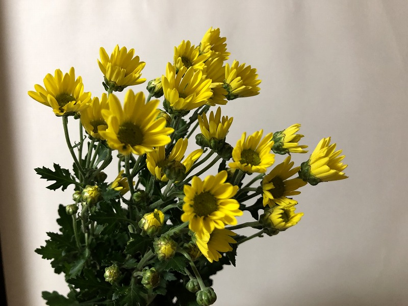 小さな黄色い花が咲き誇る小菊