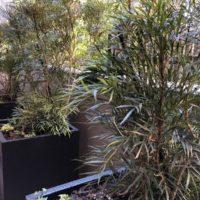 マホニアコンヒューサのセイリュウを中心とした目隠しプランターの植栽