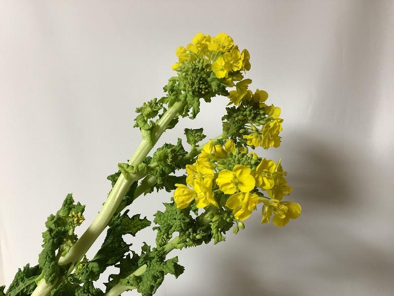 太くなった最近の菜の花