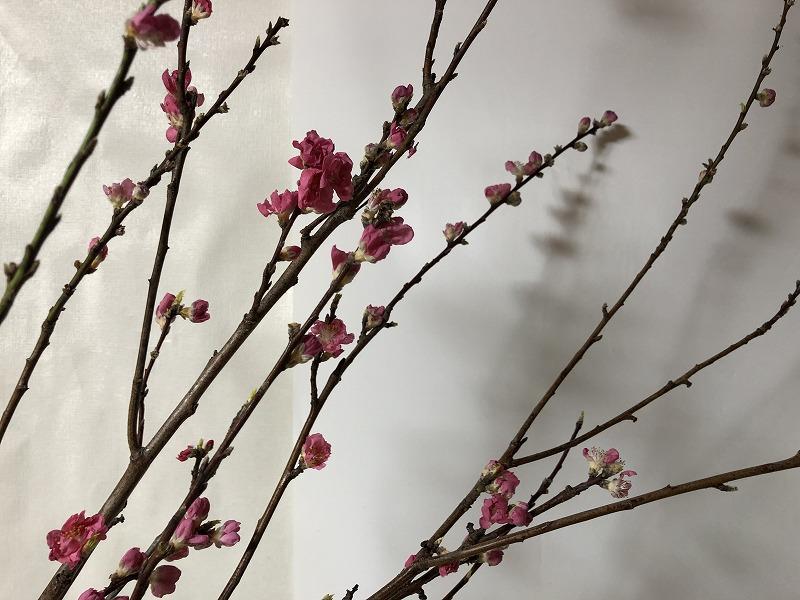 春の訪れを告げる細かい枝に花がつく桃の枝