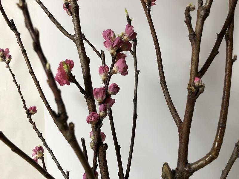 生け花では開花した花よりつぼみが良しとされる桃の花のつぼみ