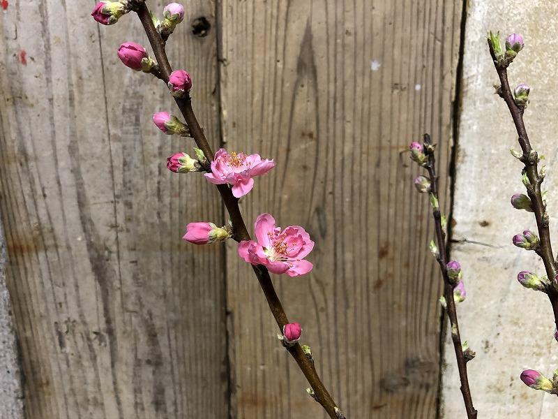 生け花で余った開花した桃の枝