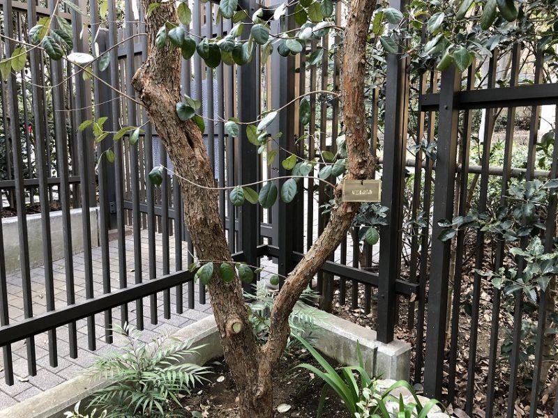 フェイジョアにつけた真鍮製の樹木札