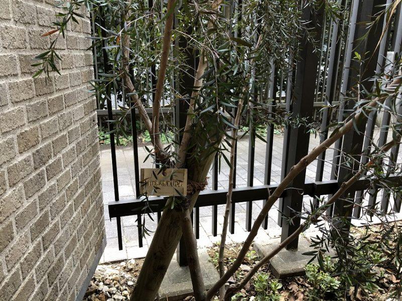 黒葉メラレウカにつけた真鍮製の樹木札