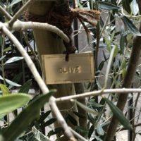 オリーブにつけた真鍮製の樹木札