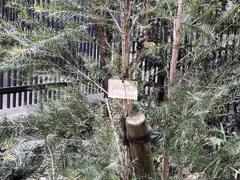 メラレウカにつけた真鍮製の樹木札