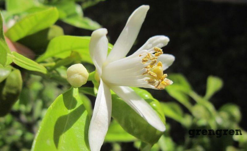 四季咲きで真っ白な花が咲くレモンの木